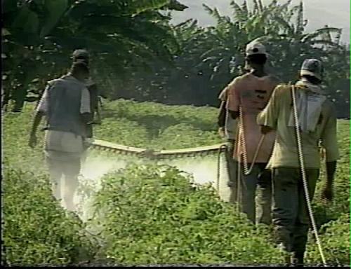 produccion industrial de tomate en Azua